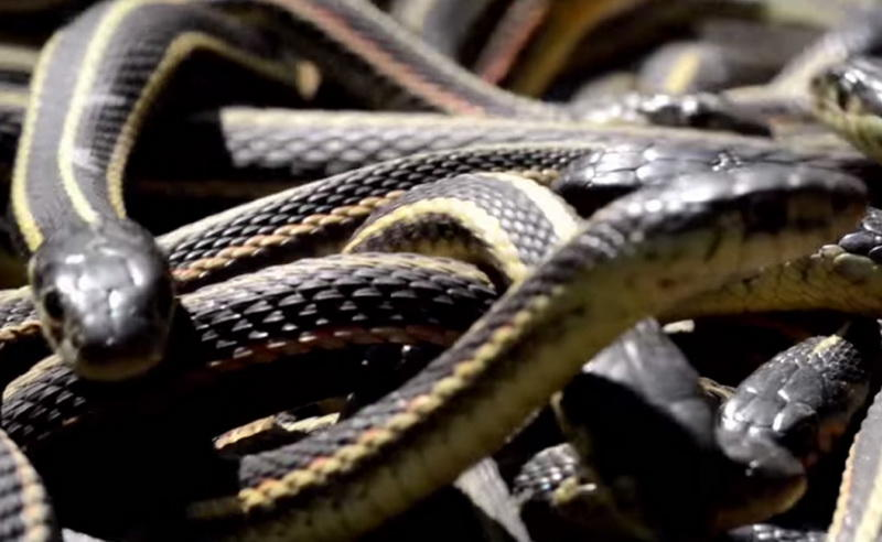 Оплодотворенная самка спешит убраться подальше от разнузданной оргии. Она найдет себе удобное местечко, где позже, летом, родит сразу 40-50 змеенышей.
