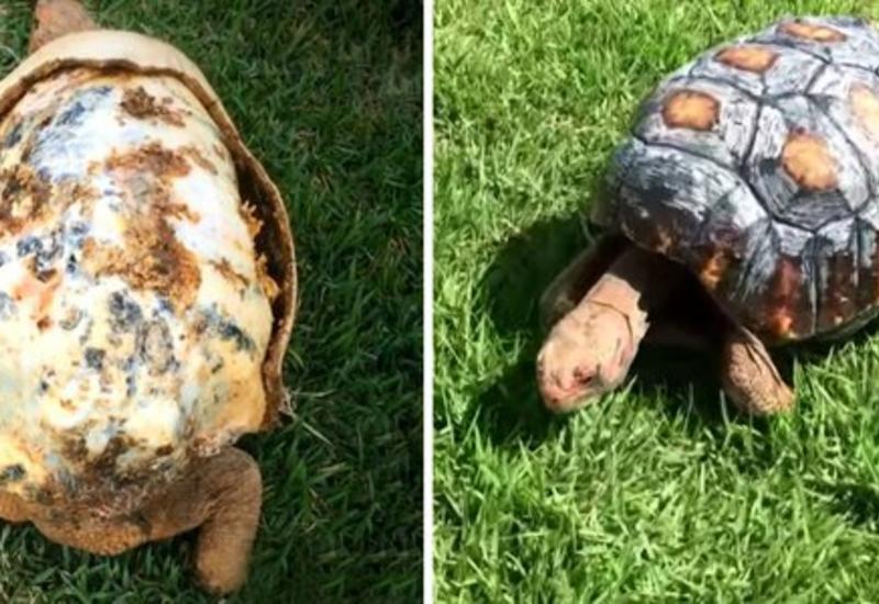 """В Бразилии распечатали на 3D-принтере панцирь для обгоревшей черепахи <span class=""""color_red"""">- ФОТО - ВИДЕО</span>"""