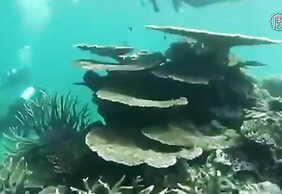 """Масштабное обесцвечивание барьерного рифа напугало ученых <span class=""""color_red"""">- ВИДЕО</span>"""
