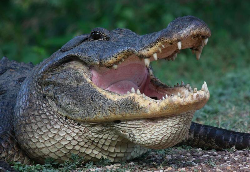 """Огромный аллигатор напугал гольфистов в американском парке <span class=""""color_red"""">- ВИДЕО</span>"""