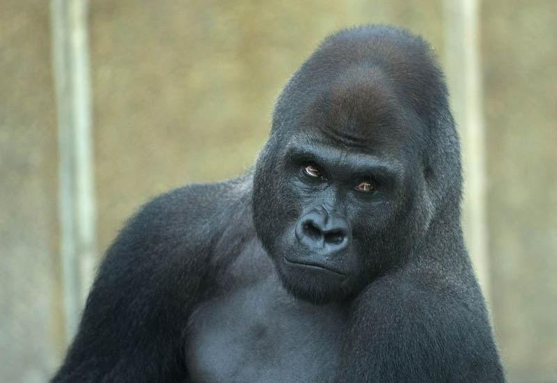 """Директор зоопарка, где застрелили гориллу, успокоил недовольных американцев <span class=""""color_red"""">- ВИДЕО</span>"""