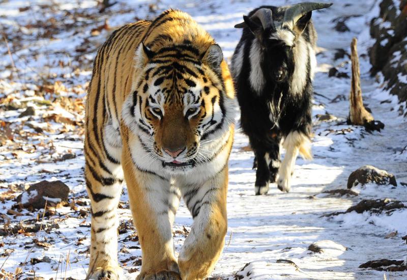 История тигра Амура и козла Тимура оказалась фейком