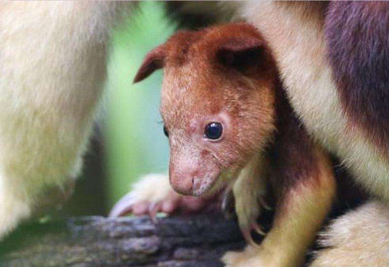 """В Австралии показали первого за 36 лет детёныша кенгуру-древолаза <span class=""""color_red"""">- ВИДЕО</span>"""