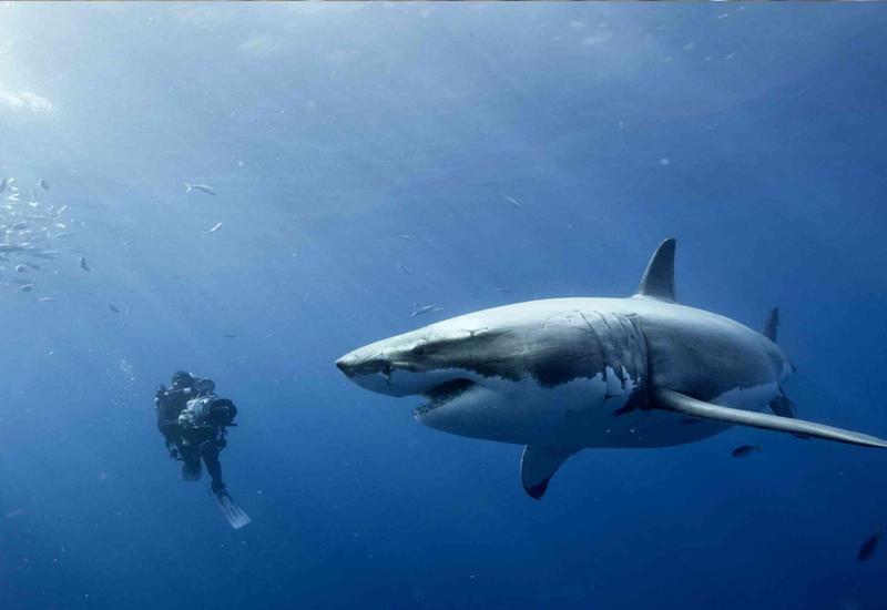 "Белую акулу впервые сняли на видео во время сна <span class=""color_red"">- ВИДЕО</span>"