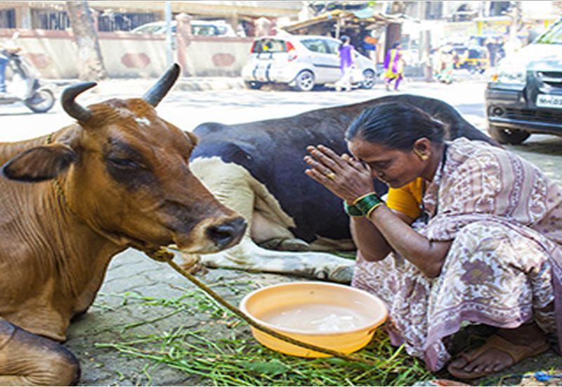 """Сенсационное открытие индийский ученых: коровы дают золото <span class=""""color_red"""">- ВИДЕО</span>"""