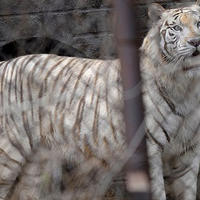 "Шокирующий случай в Китае: тигр загрыз туристку <span class=""color_red"">- ФОТО</span>"