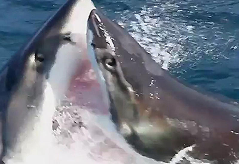 """В Сети появились редкие кадры битвы двух акул <span class=""""color_red"""">- ВИДЕО</span>"""