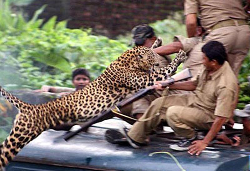 """Кошмар в индийской деревне: леопард напал на людей <span class=""""color_red"""">- ВИДЕО</span>"""