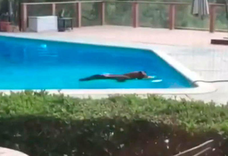 """Необычные кадры: медведь искупался в частном бассейне в Калифорнии <span class=""""color_red"""">- ВИДЕО</span>"""