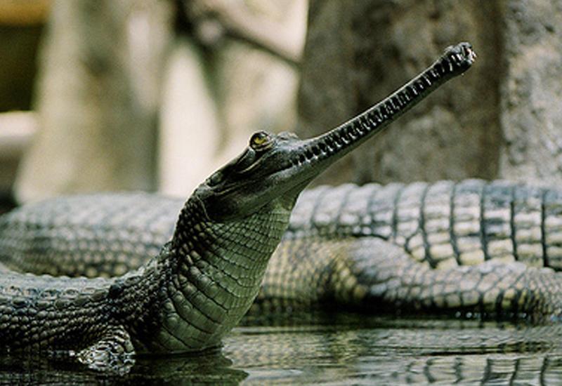 """Небывалое нашествие крокодилов в Индии <span class=""""color_red"""">- ПРИЧИНА </span>"""
