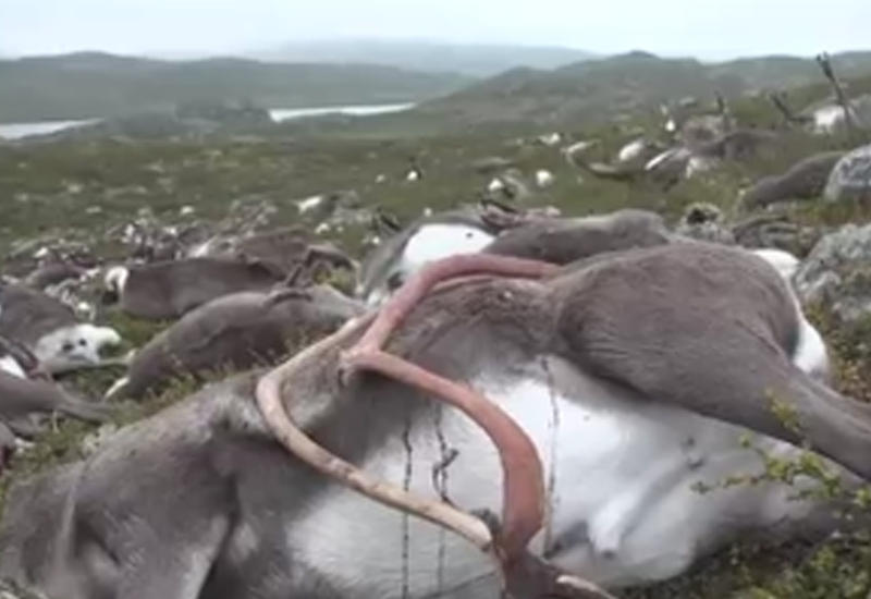 "В Норвегии один удар молнии убил 323 оленей <span class=""color_red"">- ВИДЕО</span>"