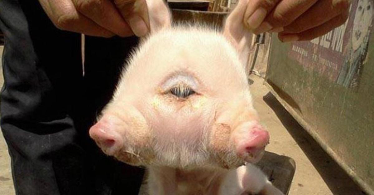 Снились роды у свиньи