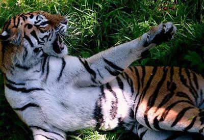 Во Владивостоке ищут тигра