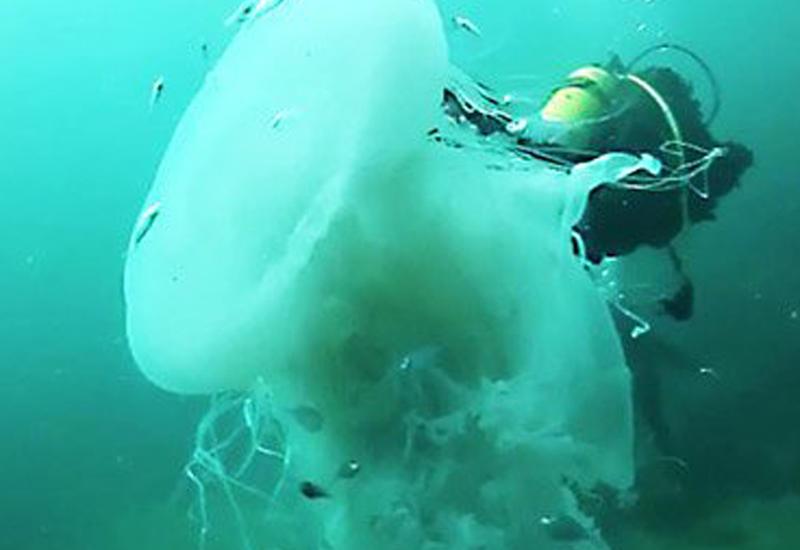 """Дайверы обнаружили редкую гигантскую медузу <span class=""""color_red"""">- ВИДЕО</span>"""