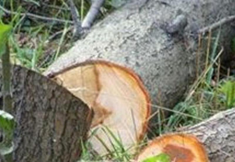 Abşeronda ağacları qanunsuz kəsən 146 nəfər məsuliyyətə cəlb olunub