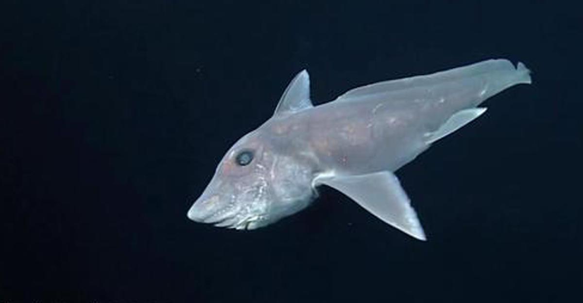 Редкая акула-призрак стаинственных глубин попала навидео