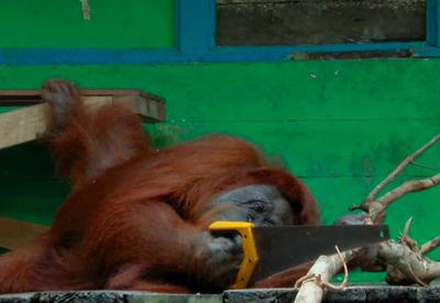 """Вот как дикая самка орангутана пользуется одноручной пилой <span class=""""color_red"""">- ВИДЕО</span>"""