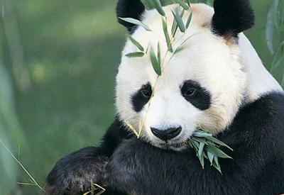 """Очень любвеобильная панда собрала более 64 млн. просмотров <span class=""""color_red"""">- ВИДЕО</span>"""