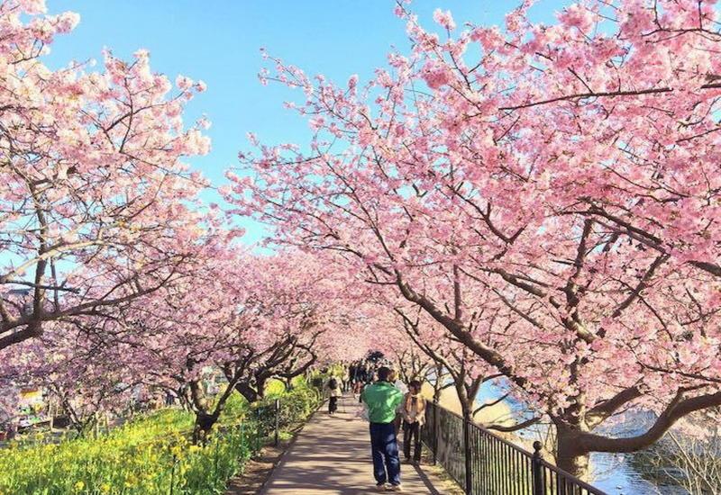 """В Японии наблюдается рекордно раннее цветение сакуры <span class=""""color_red"""">- ФОТО</span>"""