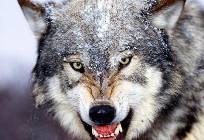 Волки держат в страхе село в Уджаре