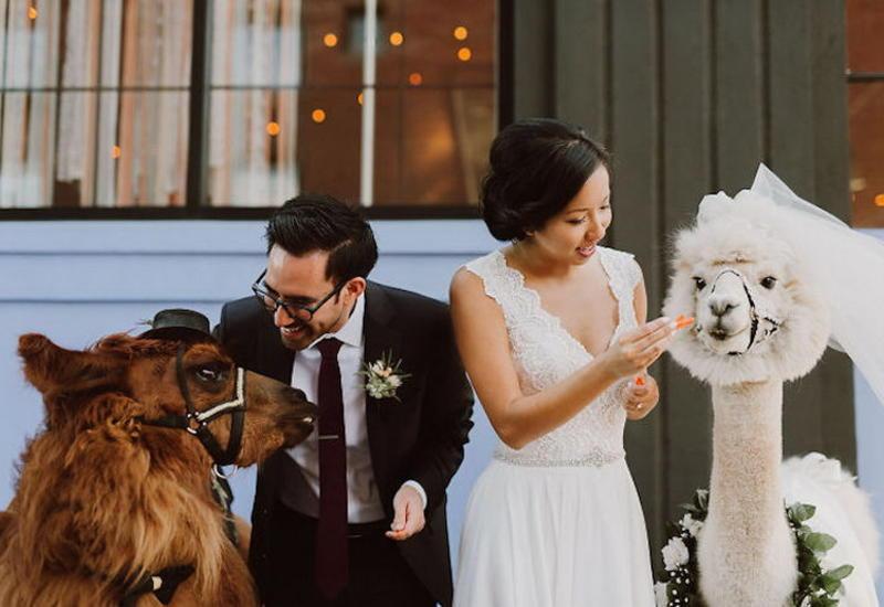 """Пригласите на свадьбу альпаку: необычные гости, от которых все будут в восторге <span class=""""color_red"""">- ФОТО</span>"""