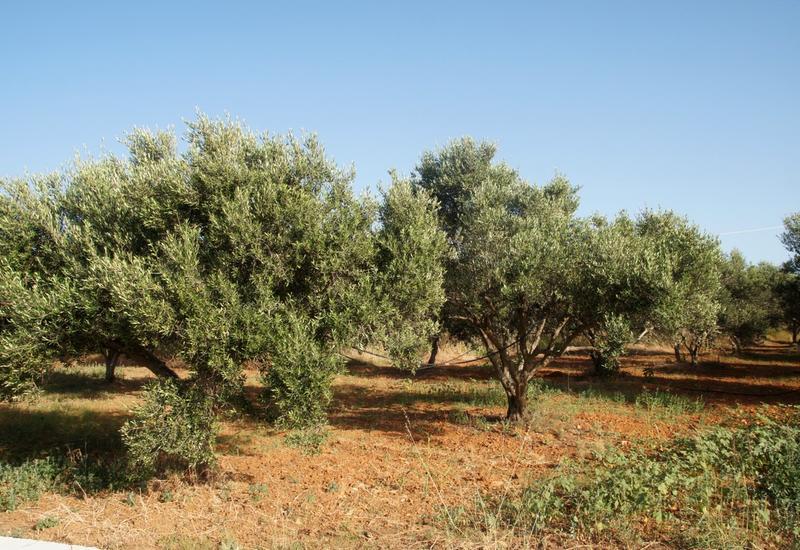 В Азербайджане разведут новые оливковые сады