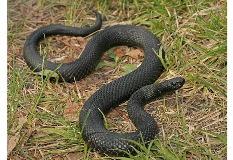 Жителя Гёйчая укусила змея