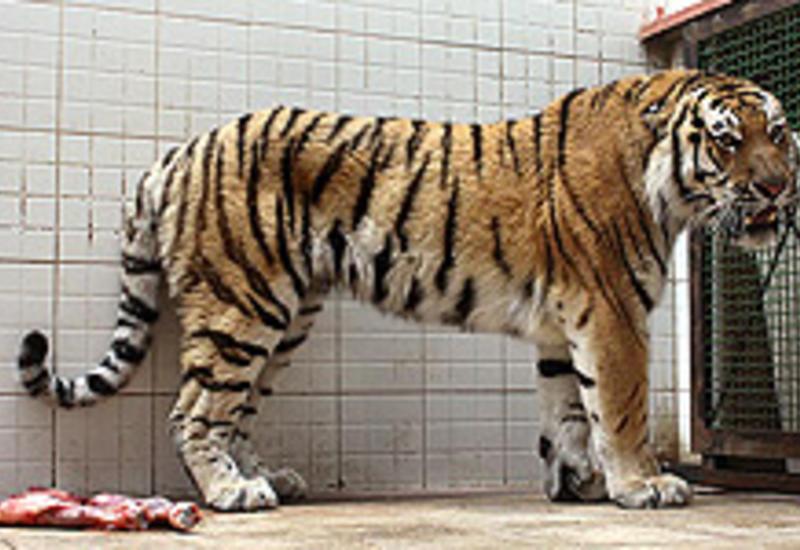 Трагедия в британском зоопарке, тигр загрыз женщину