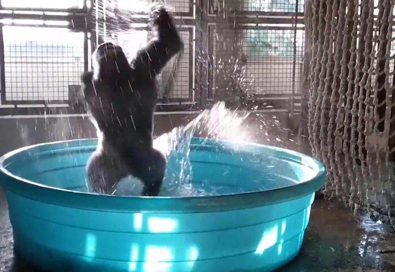 """Горилла стала звездой зоопарка благодаря своему танцу <span class=""""color_red"""">- ВИДЕО</span>"""