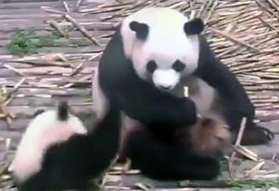 """Видео с мамой-пандой, которая предпочла детенышу вкусный бамбук, умилило пользователей Сети <span class=""""color_red"""">- ВИДЕО</span>"""