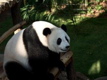 Fu-Wan and Feng-Yi the Giant Pandas