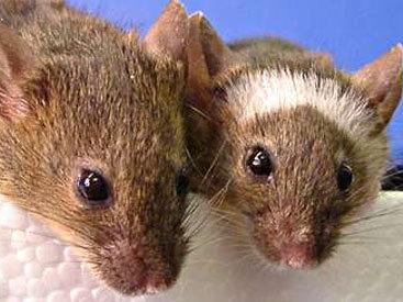 Хабаровск атаковали мыши