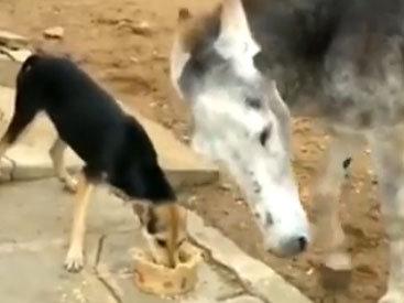 Осел наказал собаку за жадность - ВИДЕО