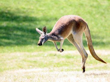 В Чехии кенгуру ограбил магазин, но не успел скрыться
