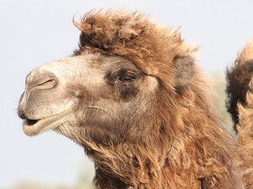 """Саудит отомстил верблюду, откусившему лицо его брату <span class=""""color_red"""">- ВИДЕО</span>"""