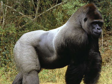 """Полиция США начала расследование убийства гориллы в зоопарке <span class=""""color_red"""">- ВИДЕО</span>"""