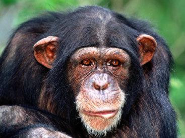 В Нидерландах 50-летняя шимпанзе принесла потомство