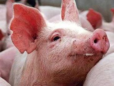 В Армении зарегистрированы случаи заражения свиней африканской чумой