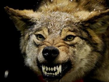 Волки держат в страхе жителей села в Гёйчае