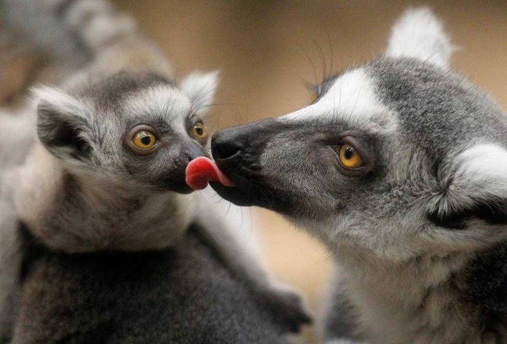 Кошачий лемур родился вростовском зоопарке