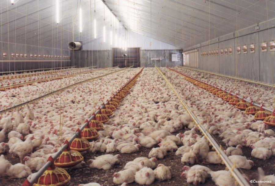 Выращивание куриц несушек в домашних условиях