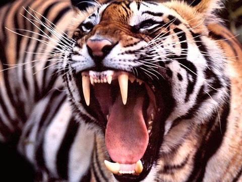 The Guardian: богачи в Армении коллекционируют львов и тигров
