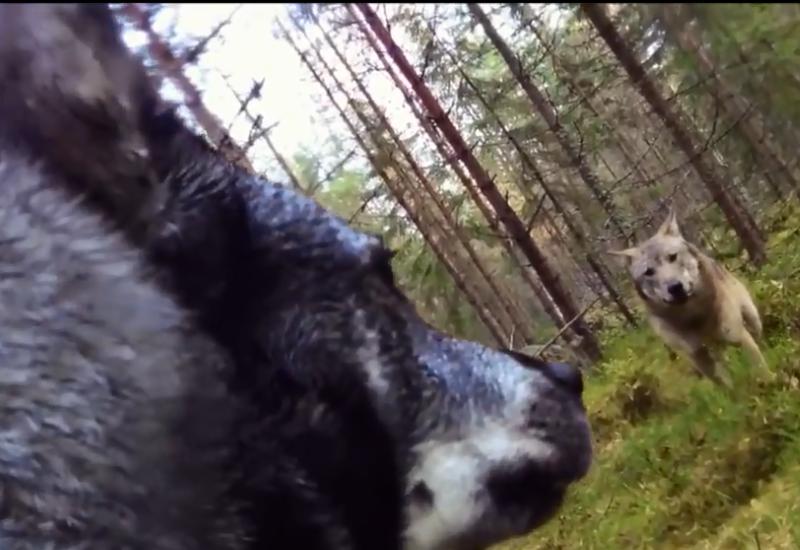 Камера сняла нападение волков на собаку в лесу