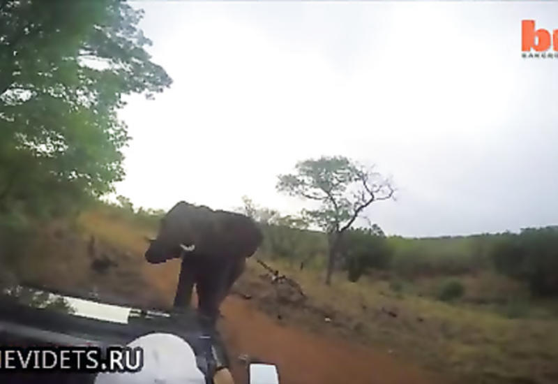 Разъяренная слониха атаковала джип