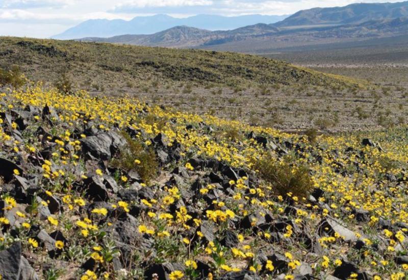 В США зацвела Долина смерти
