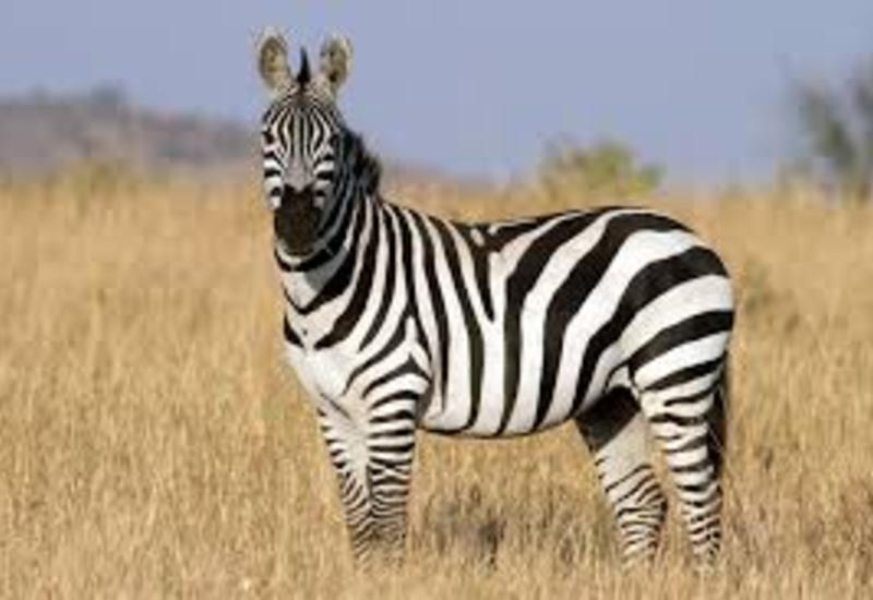 Британские ученые выяснили, зачем зебрам нужны полоски