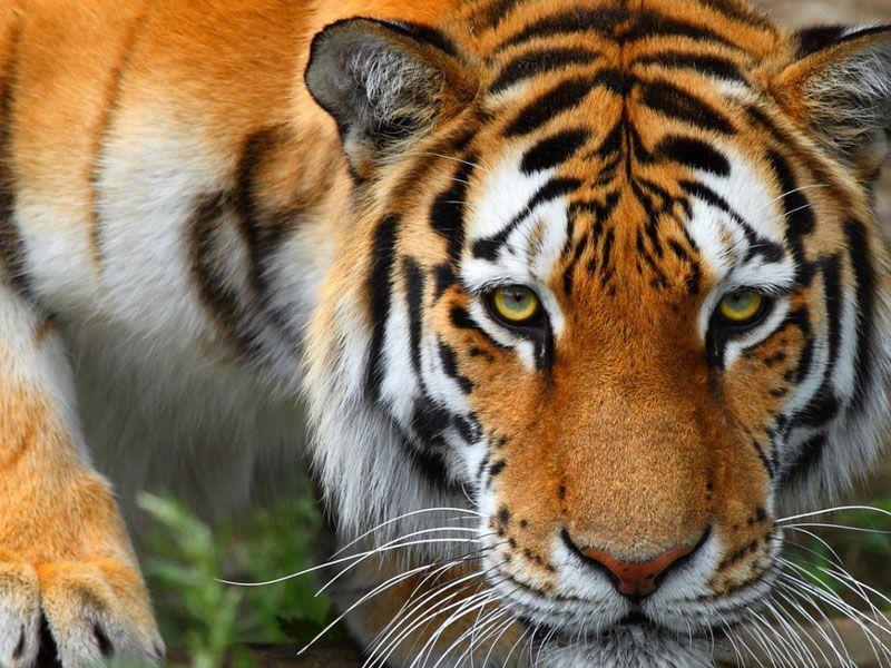 Работница зоопарка в Калининграде попала в вольер к тигру во время кормежки: ужасные кадры нападения хищника на девушку