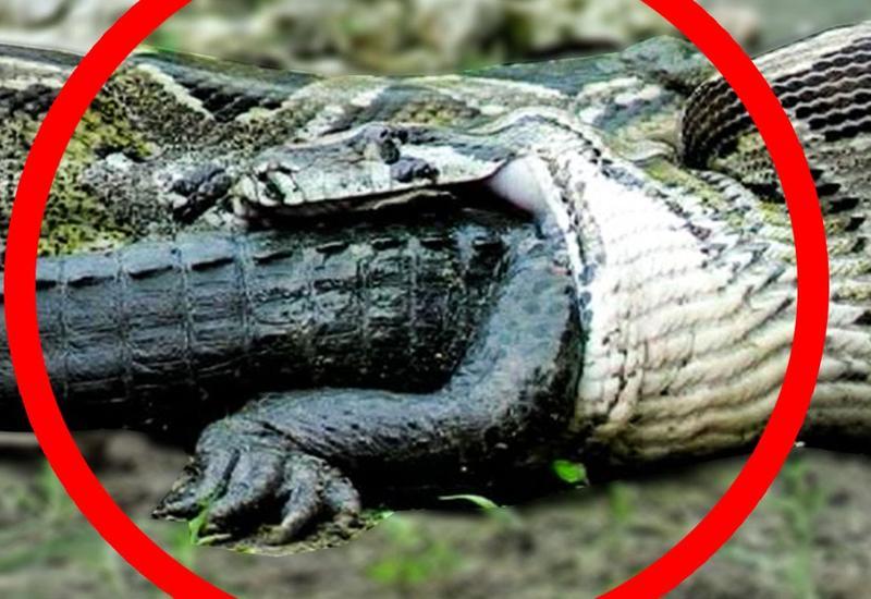 5 невероятных вещей, съеденных змеями