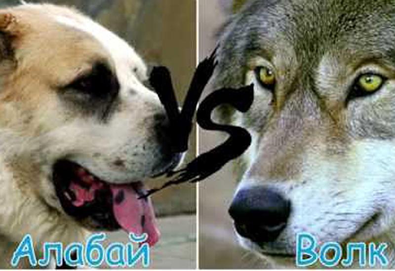 Собака вступила в схватку с волком