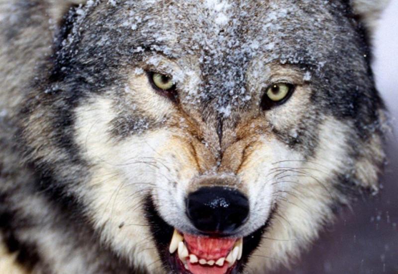Схватка сотрудницы зоопарка с волком